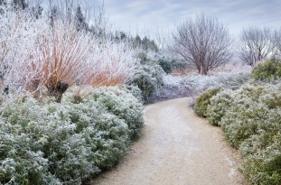 The Winter Walk in December at Anglesey Abbey, Cambridgeshire, with Sarcococca hookeriana var. digyna, pollarded Salix alba var. vitellina in hoarfrost