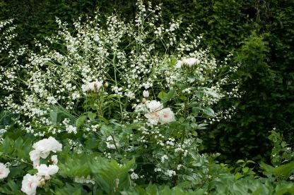 lytes-cary-jacqueline-dupre-con-crambe-cordifolia